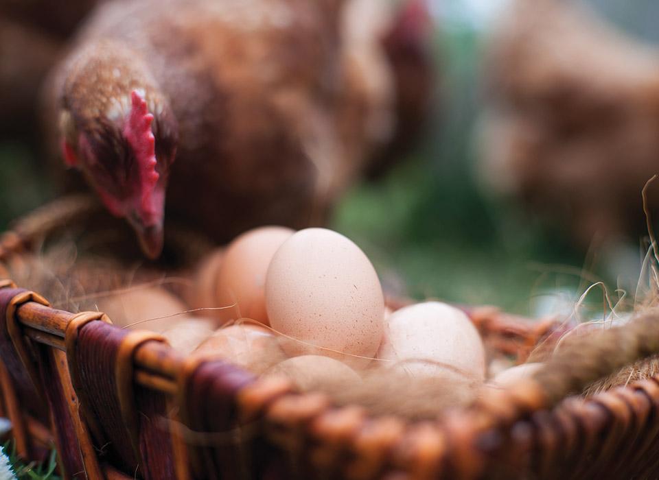 LR_IWP_Chicken